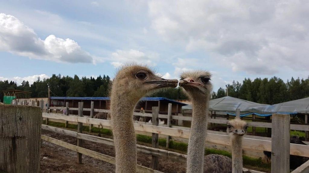10 августа 2019. Поездка на страусиную ферму. Отчет